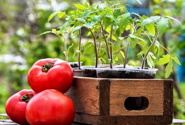 Photo of Когда сажать помидоры на рассаду