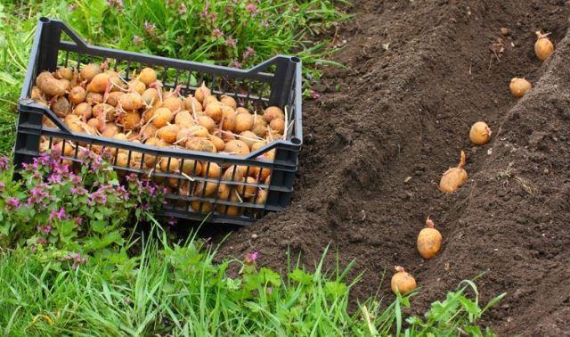 Photo of Посадка картофеля по лунному календарю на 2021 год