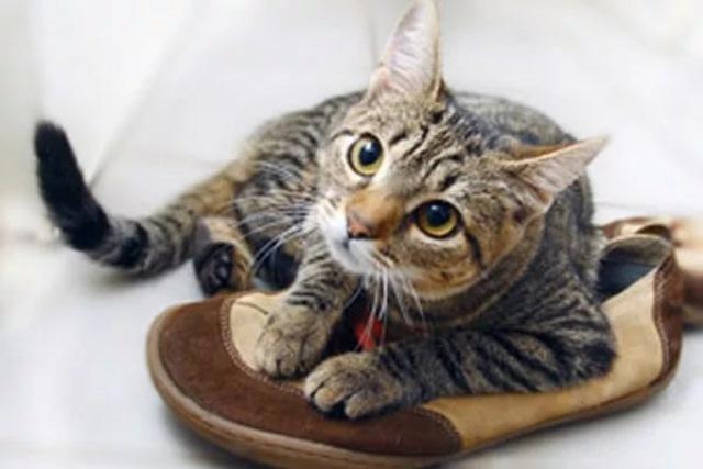 Photo of Как избавиться от запаха кошачьей мочи в обуви: средства, как вывести