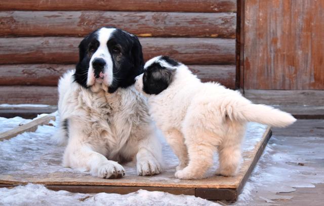 Photo of Пиренейский мастиф: все про породу собаки, фото и правила содержания