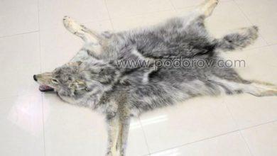 Photo of Что подарить охотнику? Значение волчьей шкуры для ценителей охоты